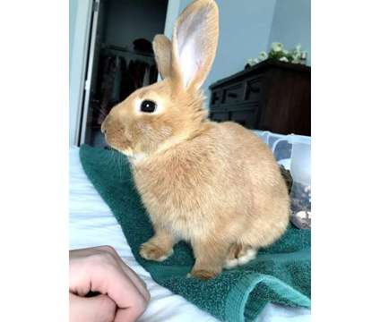 URGENT Netherland Dwarf / New Zealand sweet bunny needs home is a Male Free in Maple Valley WA