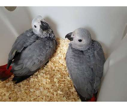 african grey is a Grey African Grey Parrot For Sale in Coupeville WA