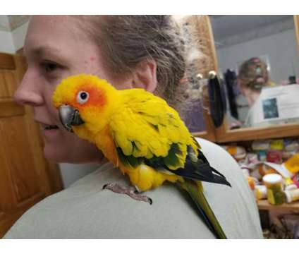 sun conure babies is a Conure Baby For Sale in Coupeville WA
