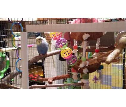 Lonely Parakeet Needs to be Adopted is a Male Parakeet For Sale in Asheville NC