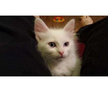 Turkish Angora Kittens is a Male Turkish Angora Kitten For Sale in Cary IL