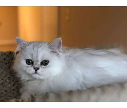 Silver Persian Kitten Available NOW! Price reduced is a Grey Male Persian Kitten For Sale in Chicago IL
