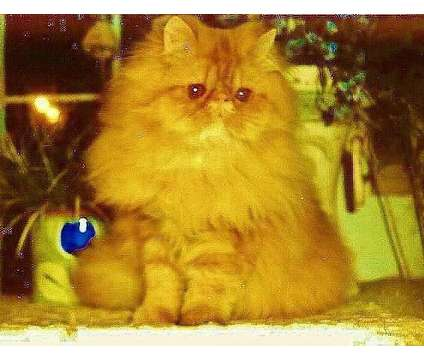 persian male cat for sale is a Male Persian Young For Sale in Oceanside NY