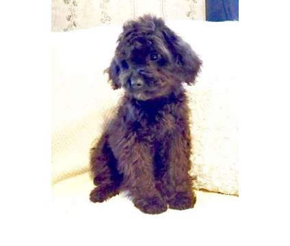 Cockapoo Puppies - Great with Kids, Hypoallergenic Coats is a Cockapoo For Sale in Nottingham NH