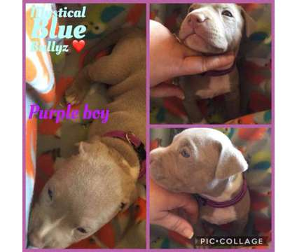 Ukc registered champagne (lilac) puppies ready for new homes 4/4 is a Male American Pit Bull Terrier Puppy For Sale in Adrian MI