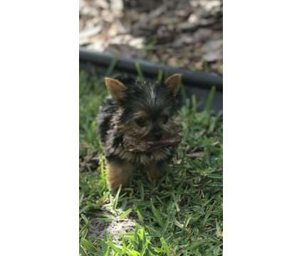 Teacup Yorkshire Terrier Puppies -Males and Females is a Female Yorkshire Terrier Puppy For Sale in Orlando FL