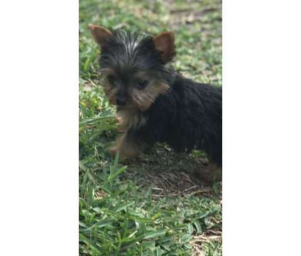 Teacup Yorkshire Terrier Puppies -Males and Females is a Male Yorkshire Terrier Puppy For Sale in Orlando FL