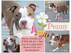 Penny American Staffordshire Terrier Adult Female