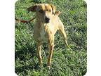 Roadie Mountain Cur Adult Male