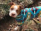Teddy Bear American Staffordshire Terrier Adult Male