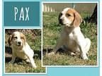 Pax Bluetick Coonhound Puppy Male