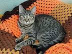 Zepplin Domestic Shorthair Kitten Male