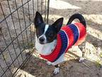Chihuahuas for Sale in Florence, SC | Dogs on Oodle Classifieds