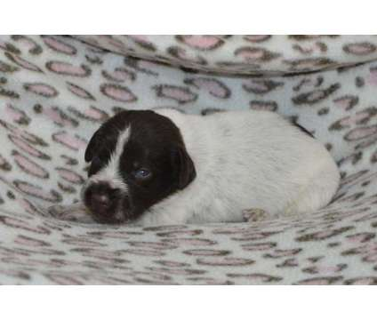 Remi's #1-#9 is a Male German Wirehaired Pointer Puppy For Sale in Lake Benton MN