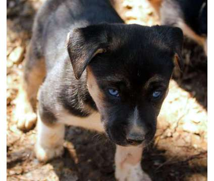 Blue eyed Pitsky puppy is a Blue Female Puppy For Sale in Henagar AL