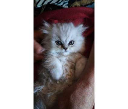 Persian Silver kittens 2F 1M is a Grey Female Persian Kitten For Sale in Mchenry IL