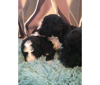 Male goldendoodle puppies is a Male Goldendoodle Puppy For Sale in Lynchburg VA