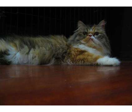 Adult Persian Kitten Available is a Female Persian Adult Adoption in Vancouver WA