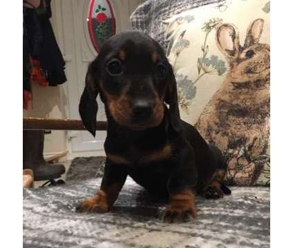 Our busy family home NOW got M/F Miniature Dachshund Puppies For Sale is a Dachshund For Sale in New York NY