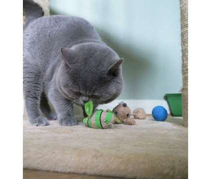 14weeks old Beautiful British Shorthair Gccf Reg Kittens for sale is a British Shorthair Young For Sale in New York NY