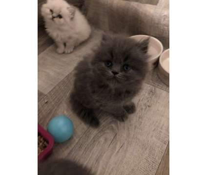 Beautifu 11 weeks old l Persian Kittens For Sale is a Persian Young For Sale in New York NY