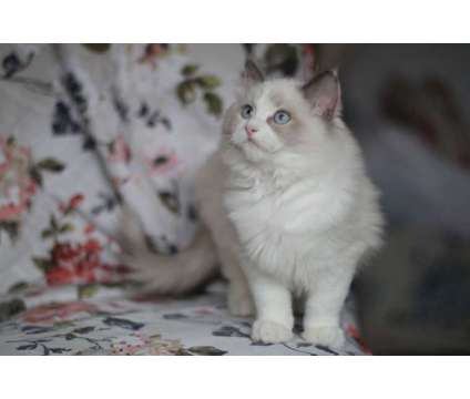 Grand Champ Full Pedigree Ragdoll Kittens for sale is a Ragdoll Young For Sale in New York NY