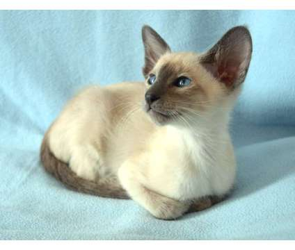 Beautiful confident Siamese Kitten Ready Now For Sale is a Female, Male Siamese Young For Sale in New York NY