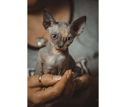 Absolutely Gorgeous Sphynx Kittens For Sale is a Sphynx Young For Sale in New York NY