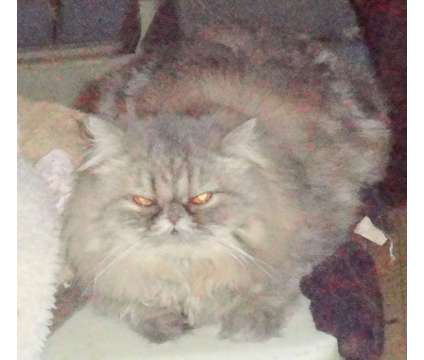 Brown Tabby Persian Adult is a Brown Female Persian Adult For Sale in Knoxville TN