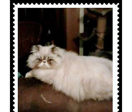 Himalayan Cat is a Male Himalayan Adult For Sale in Knoxville TN