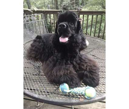 Cocker Spaniel Male is a Male Cocker Spaniel For Sale in Baltimore MD