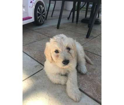 Labradoodles F1B is a Labradoodle Puppy For Sale in Coral Springs FL