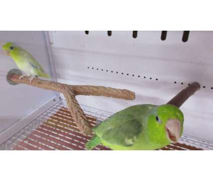 Parrotlet Pairs is a Female Parrotlet For Sale in Corinth NY