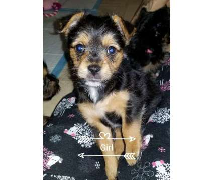 Chorky Puppies is a Female Chorkie Puppy For Sale in Sacramento CA