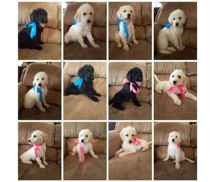 Labradoodles is a Female Labradoodle Puppy For Sale in Warner Robins GA