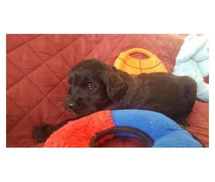 Goldendoodles is a Male Goldendoodle Puppy For Sale in Clarks Hill SC