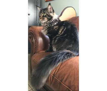 CFA Maine Coon Kittens in Tampa is a Female Maine Coon Kitten For Sale in Tampa FL