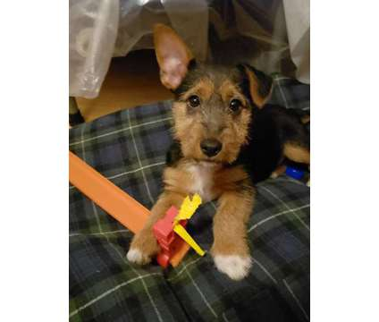Australian Terrier Puppies is a Male Australian Terrier Puppy For Sale in Cave Junction OR