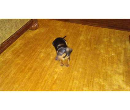 4 month miniuture Dachsdand full blooded no papers shots up to date is a Male Puppy For Sale in Boiling Springs SC