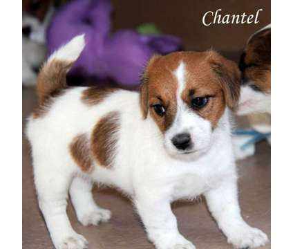 Jack Russell Terrier Puppies is a Female Jack Russell Terrier Puppy For Sale in Denver CO