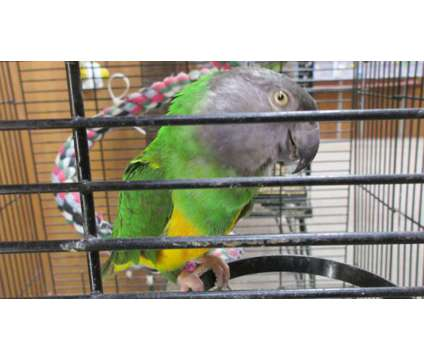 Senegal Pairs is a For Sale in Corinth NY