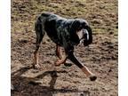 Adopt Memphis a Bluetick Coonhound