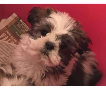Male Shih Tzu Puppies is a Male Shih-Tzu Puppy For Sale in Shady Hills FL