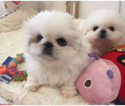 Quality Pure White Pekingese Puppies For sale is a White Female, Male Pekingese For Sale in New York NY