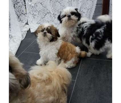 Stunning EYES Beautiful Shitzu Puppies For Sale is a For Sale in New York NY
