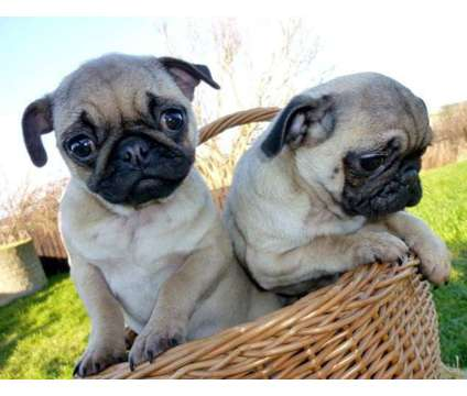 Very pretty-Look AKC Registered Pug Puppies FOR SALE is a Pug For Sale in New York NY