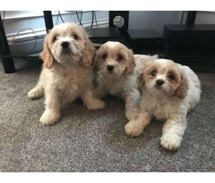 Stunning F1 Cavachon Puppies For Sale is a Cavachon For Sale in New York NY