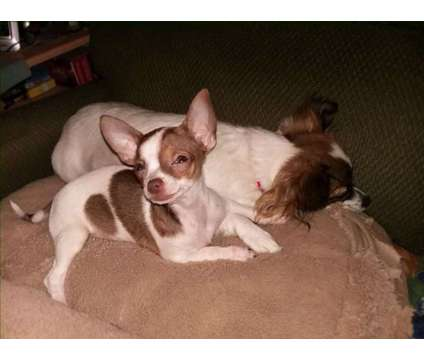 Chihuahua puppies ready be loved and taken home is a Female Chihuahua For Sale in Pitman NJ
