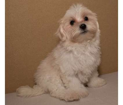 Maltipoo pups at ABCpuppy is a Female Malti-Poo Puppy For Sale in Donna TX
