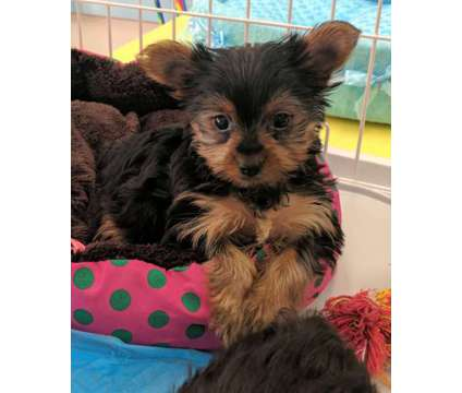 Yorki's, YorkiPoo's, Morkies is a Yorkipoo in Milwaukee WI